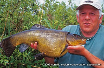Chris with the first double figure tench from Bawburgh Lakes weighing in at a massive 11 lbs 2 ozs